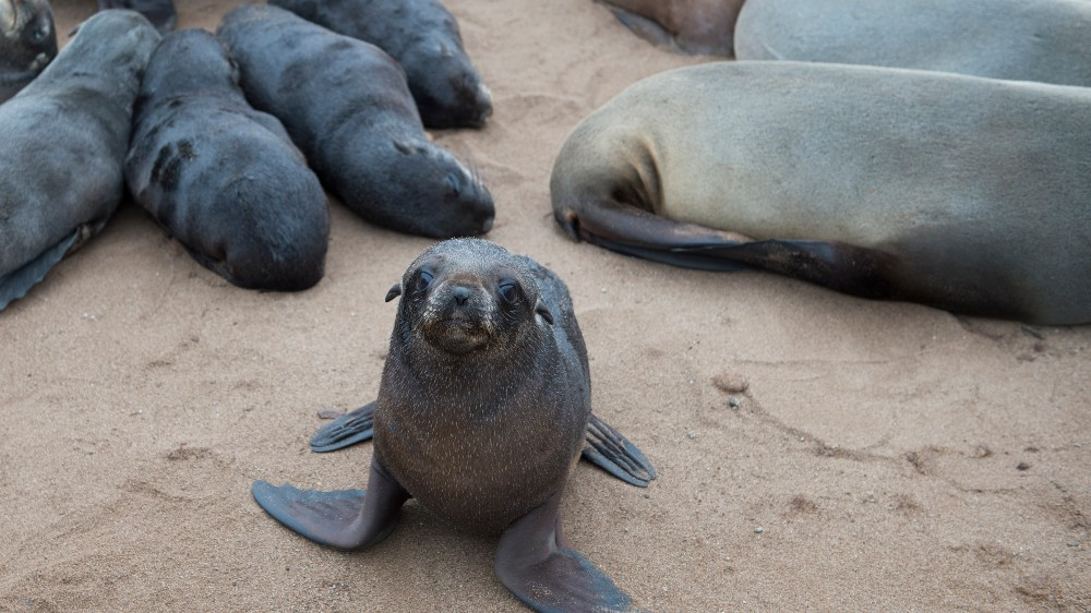 Thousands of seals found dead at breeding colony in Namibia